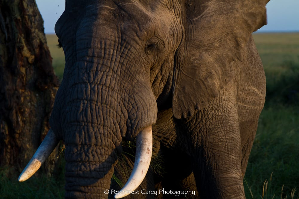 African Elephany At Dusk