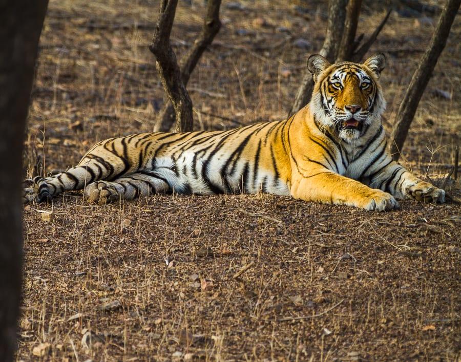 Resting Tiger, India