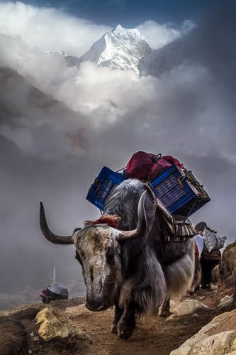 Yak (Bos grunniens) and Porter In Front Of Kangtega. Solukhumbu,
