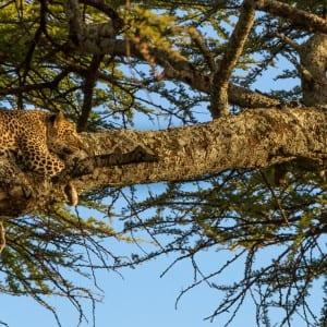 Gazing leopard (Panthera pardus), Serengeti National Park, Tanza