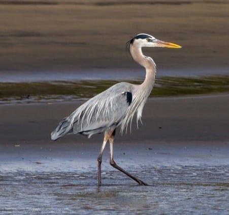 Stalking Heron